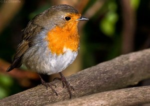robin_red_breast_bird_on_log