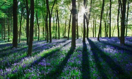 Bluebells-in-spring-woodl-007