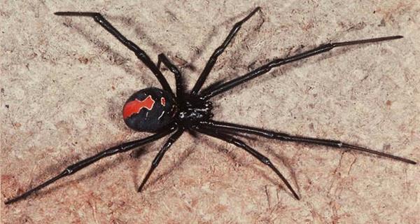 redback-spider