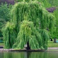 willow treexxxxxxxxxxx